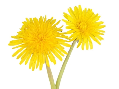 Dandelion: Health Benefits Of Dandelion