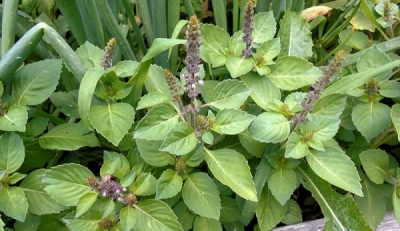 Basil leaves: Health Benefits of Basil leaves